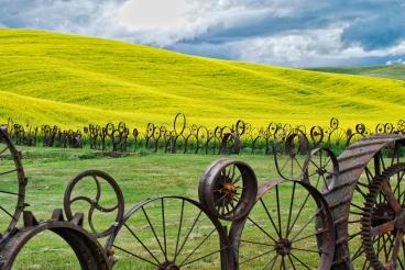 Canola field, wagon-wheel fence at Dahmen Barn in Uniontown